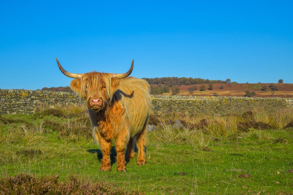 Highland Cow Curbar Edge Peak District