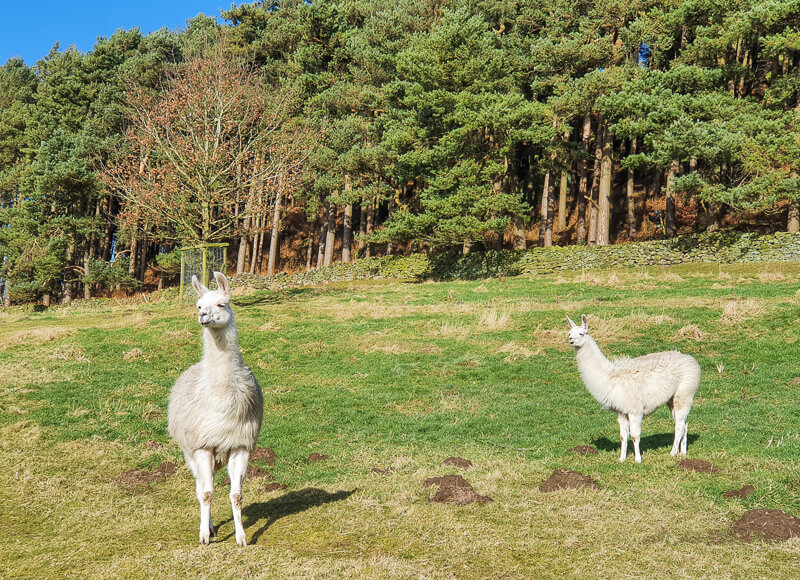 Llamas on Derbyshire Dale walk