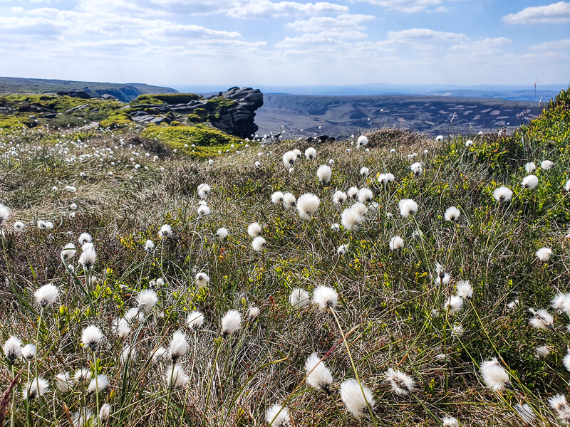 Cottongrass on the plateau of Kinder Scout
