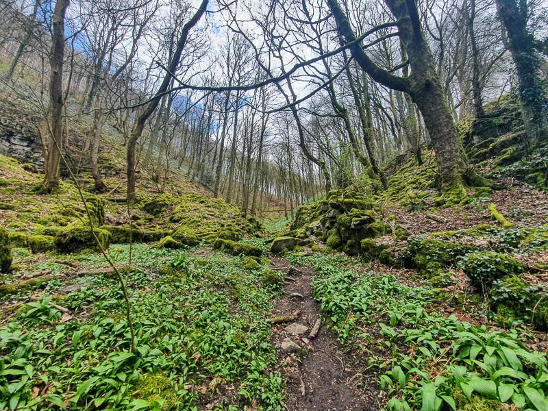 Wild garlic next to path